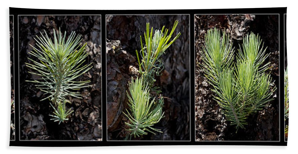 Ponderosa Beach Towel featuring the photograph Ponderosa Pine Wide by Kelley King