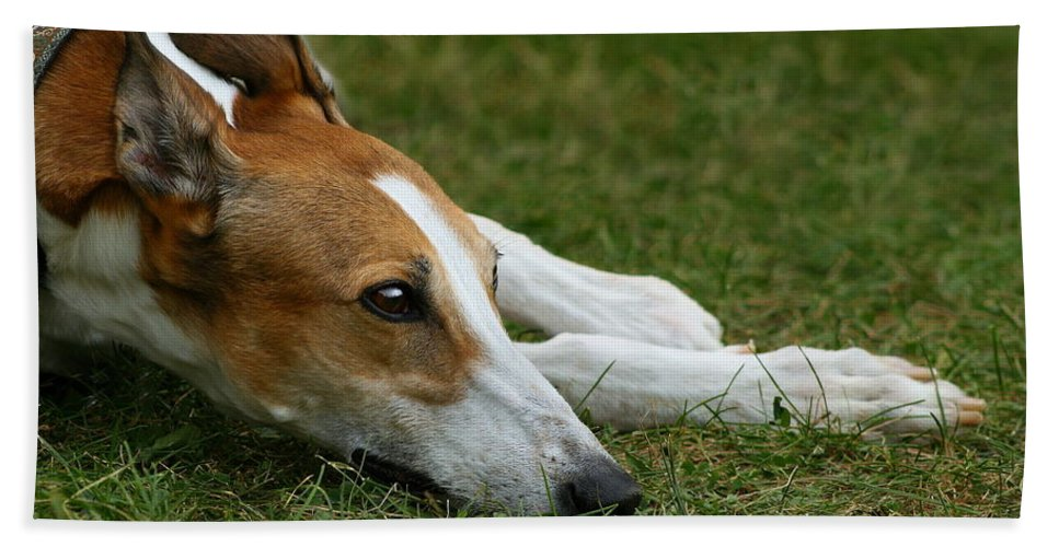 Editorial Beach Towel featuring the photograph Portrait Of A Greyhound - Soulful by Angela Rath