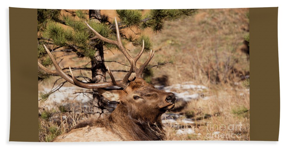 Portrait of a large bull elk closeup beach sheet for sale by georgia american beach sheet featuring the photograph portrait of a large bull elk closeup by georgia evans publicscrutiny Image collections