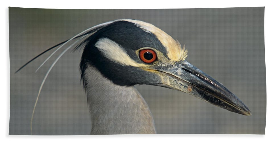 Animal Beach Towel featuring the photograph Portrait Of A Yellow Crowned Heron by John Harmon