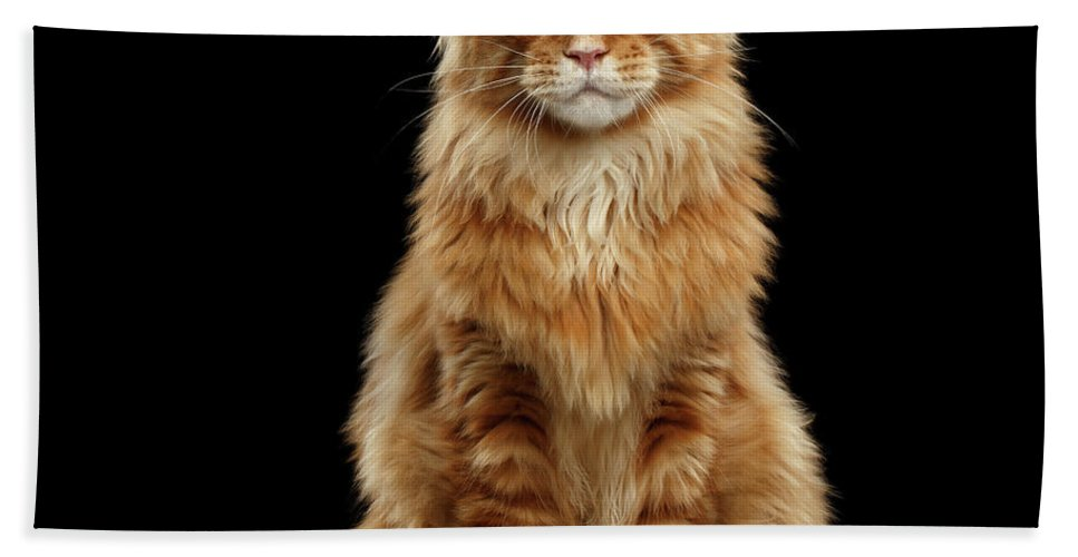 Angry Beach Towel featuring the photograph Portrait Of Ginger Maine Coon Cat Isolated On Black Background by Sergey Taran
