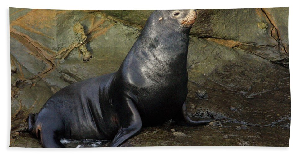 Sea Lion Beach Towel featuring the photograph Posing Sea Lion by Randall Ingalls