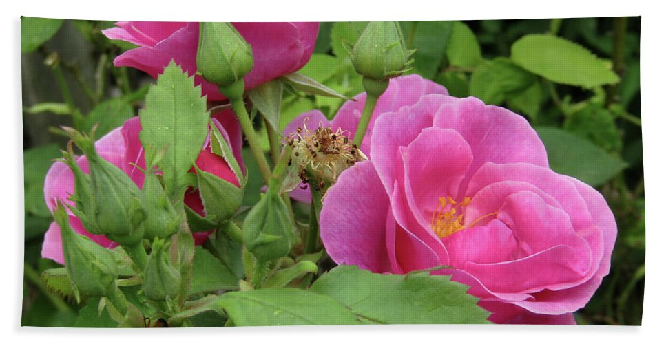 Roses Beach Towel featuring the photograph Pretty In Pink 3 by Kim Tran