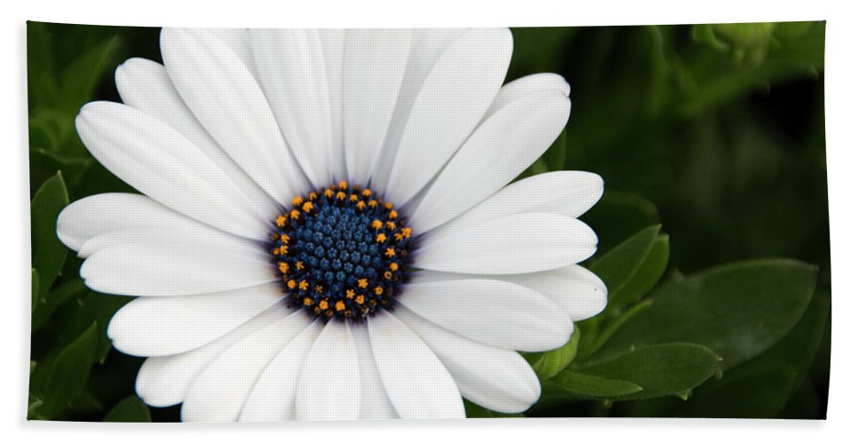 African Daisy Beach Towel featuring the photograph Pretty Perfect by Susan Wright