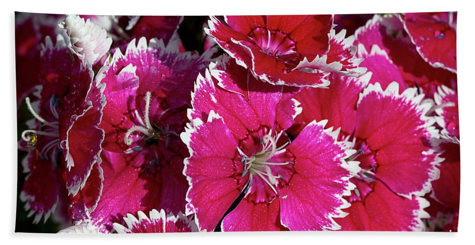 Dianthus Beach Towel featuring the photograph Pretty Pinks by Phyllis Denton