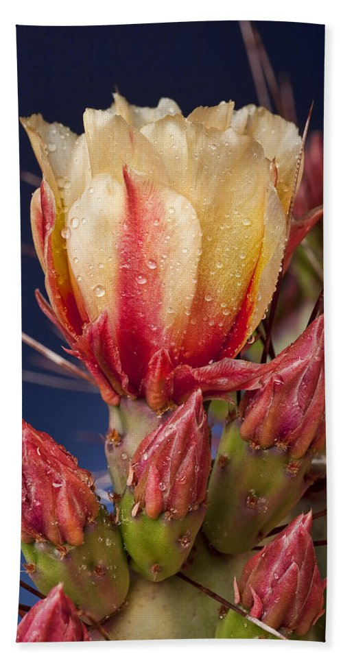 Prickly Pear Beach Towel featuring the photograph Prickly Pear Flower Wet by Kelley King