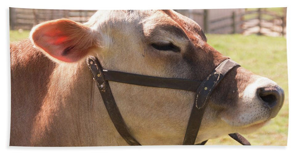 Cow Beach Towel featuring the photograph Profile Of Brown Cow by Diane Schuler