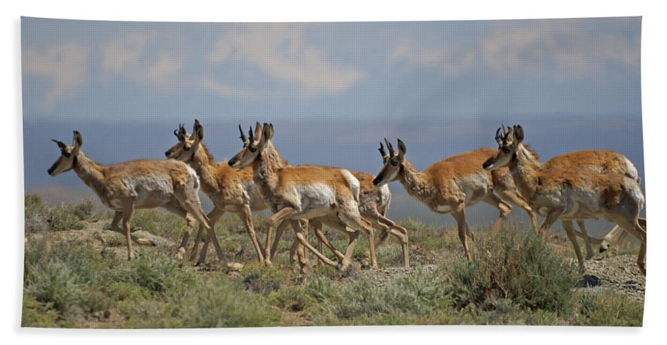 Pronghorn Beach Towel featuring the photograph Pronghorn Antelope Running by Heather Coen