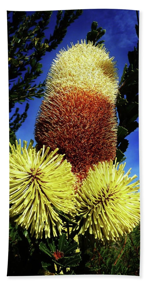Banksia Sceptrum Beach Towel featuring the photograph Protea Flower 5 by Xueling Zou