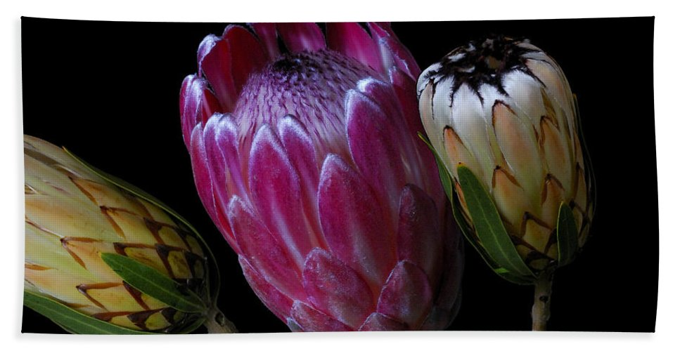 Proteas Beach Towel featuring the photograph Proteas by Wayne Sherriff