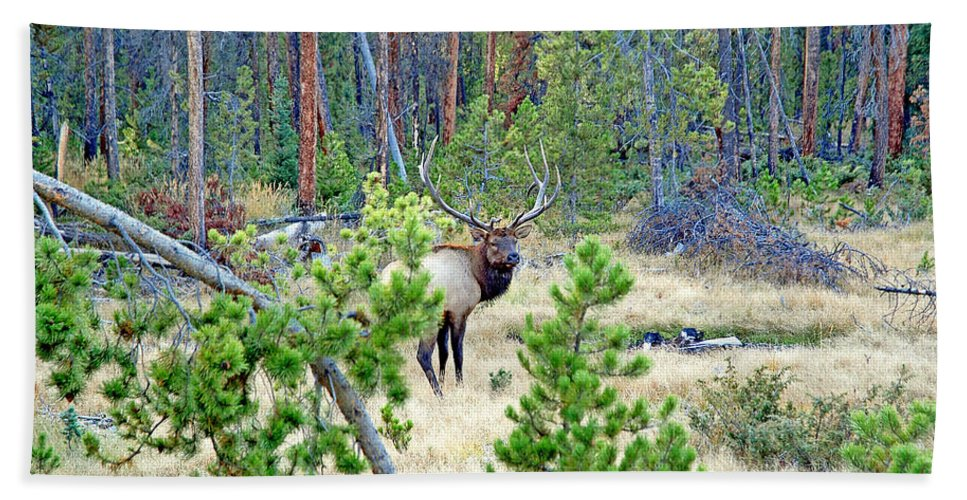 Protective Elk Beach Towel featuring the photograph Protective Elk by Robert Meyers-Lussier