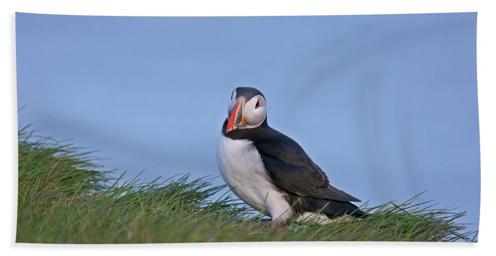 Puffins Beach Towel featuring the photograph Puffin 5 by Leigh Lofgren