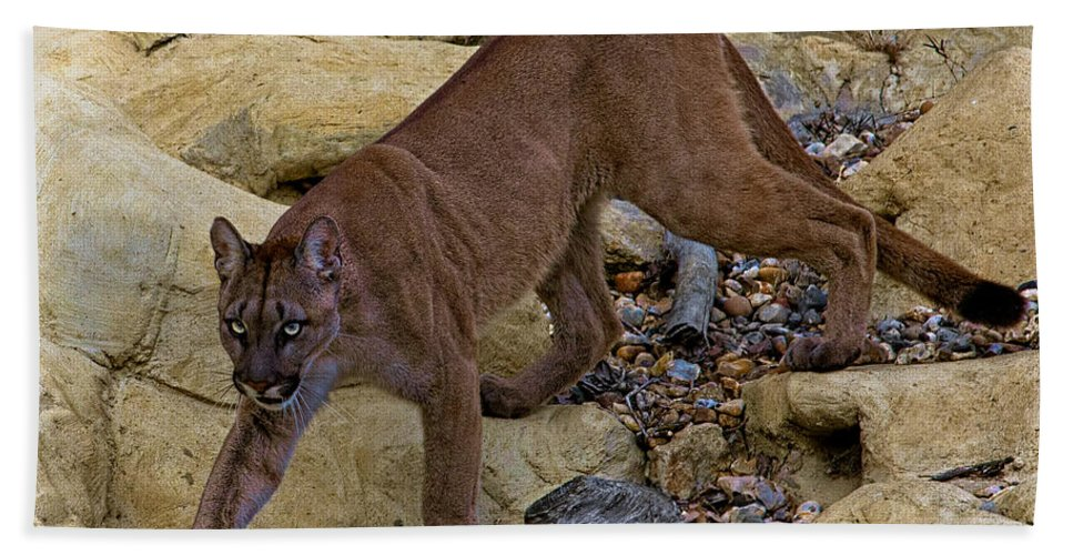 Cat Beach Towel featuring the photograph Puma Stalking by Chris Lord