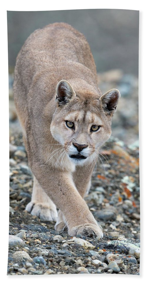 Puma Beach Towel featuring the photograph Puma Walk by Max Waugh