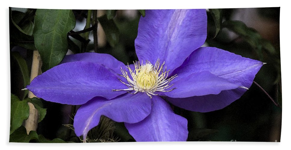 Purple Beach Towel featuring the photograph Purple Clematis by Jim And Emily Bush