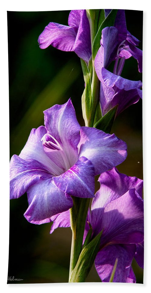 Gladiolas Beach Towel featuring the photograph Purple Glads by Christopher Holmes