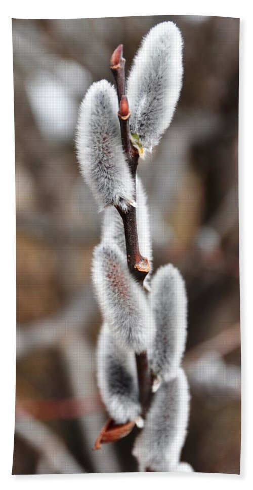 Flower Beach Towel featuring the photograph Pussy Willow 1 by Rich Bodane