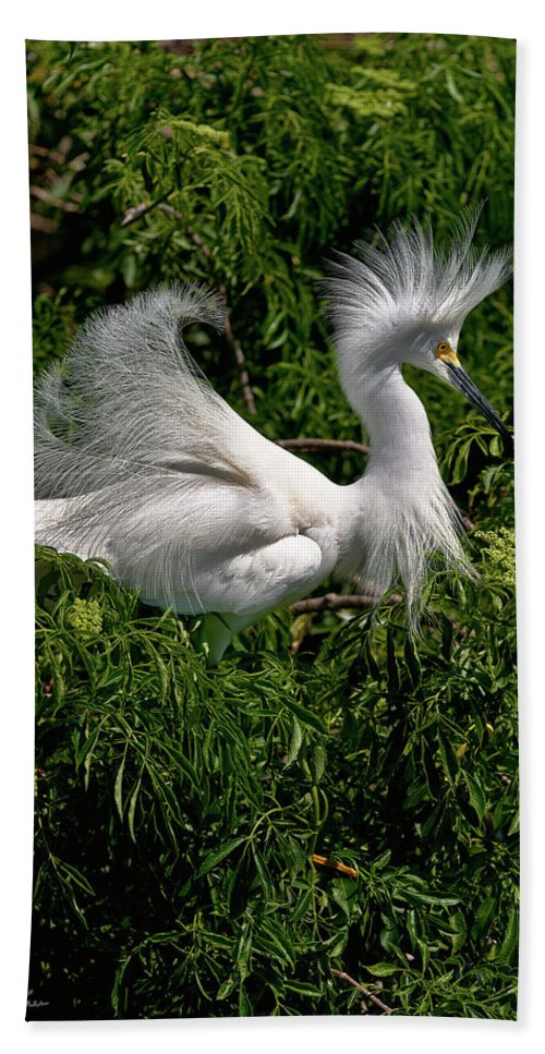 Snowy Egret Beach Towel featuring the photograph Quite The Doo by Christopher Holmes