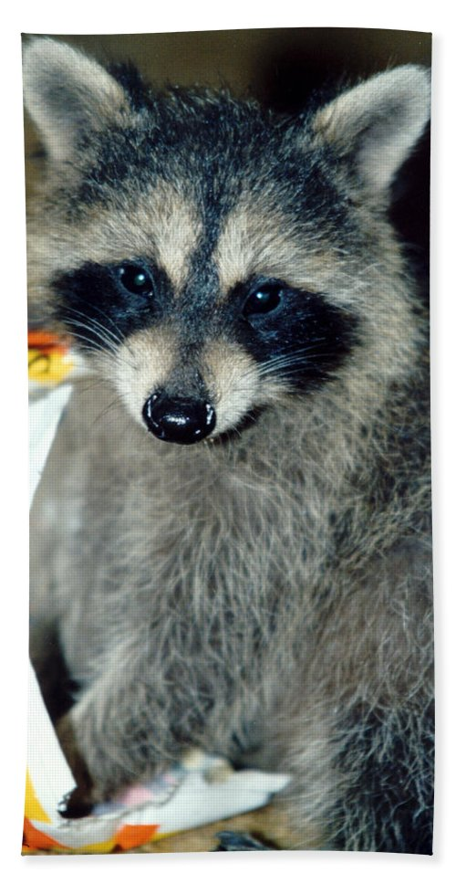 Faunagraphs Beach Towel featuring the photograph Raccoon1 Snack Bandit by Torie Tiffany