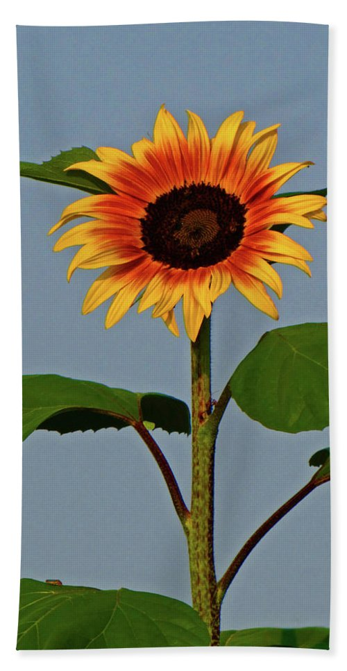 Floral Beach Towel featuring the photograph Radiant Sunflower by Peg Urban
