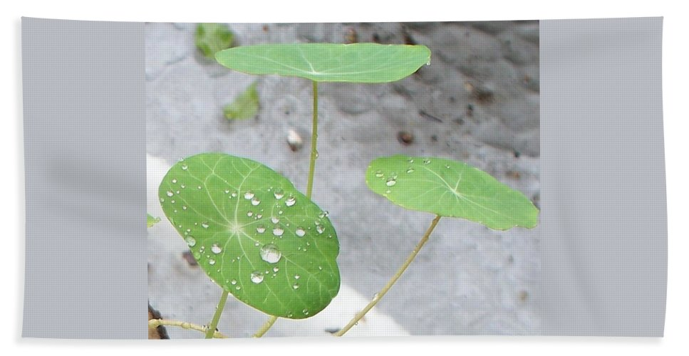 Floral Beach Towel featuring the painting Raindrops On A Nasturtium Leaf by Eric Schiabor