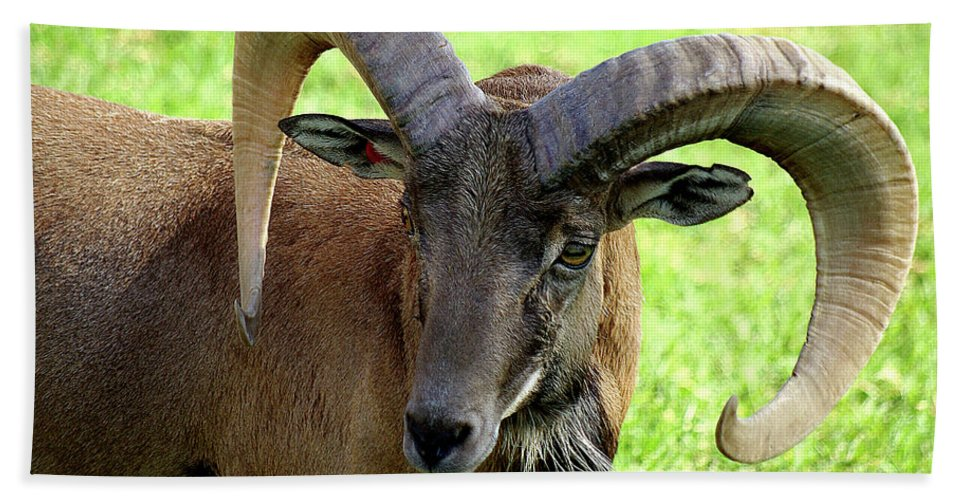 Big Horned Sheep Beach Towel featuring the photograph Ram by Jim And Emily Bush