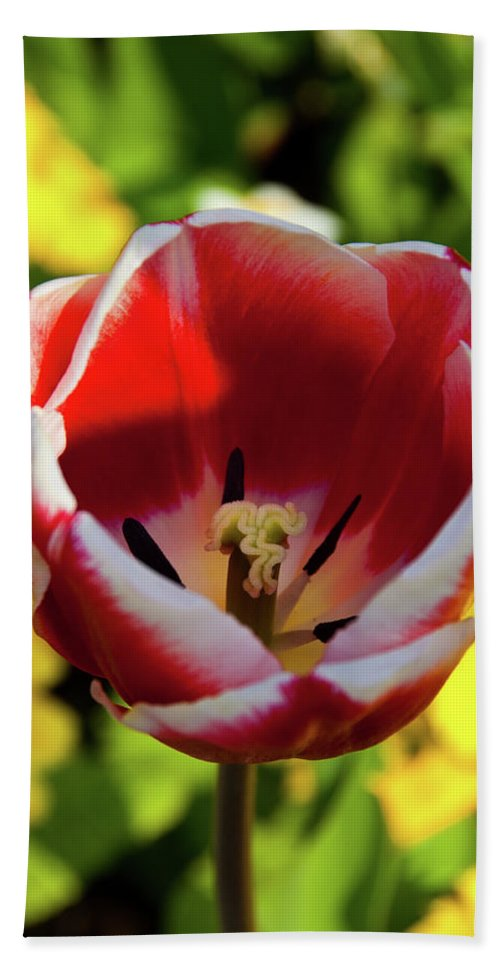 Tulip Beach Towel featuring the photograph Red And White Tulip by Rob Hawkins