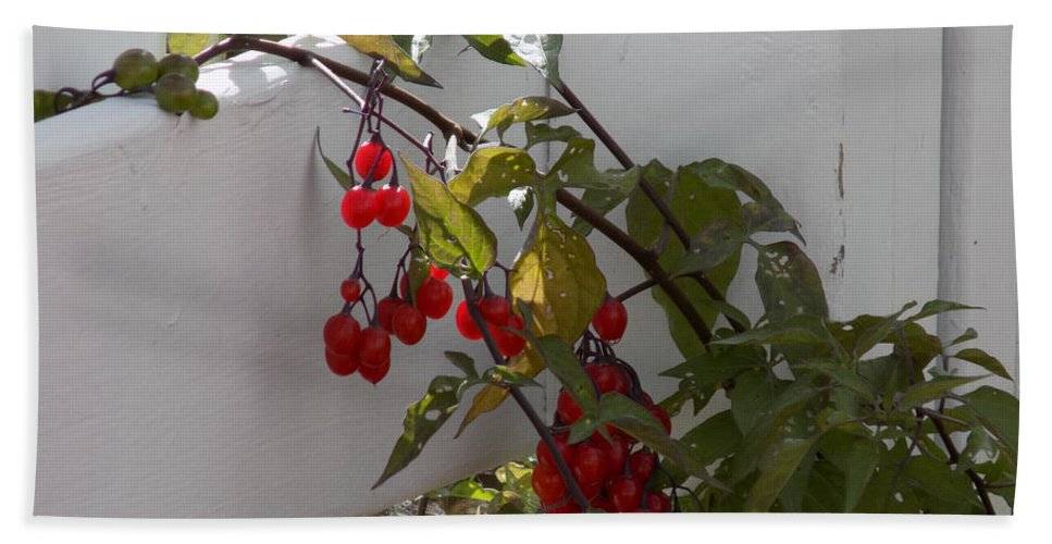 Berries Beach Towel featuring the photograph Red Berries On A White Fence by William Tasker