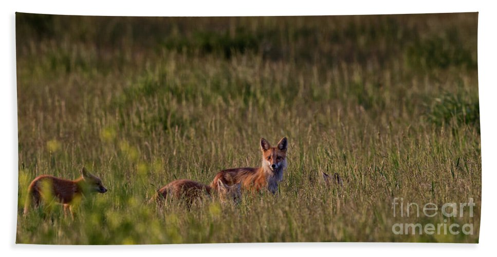 Cinematic Beach Towel featuring the photograph Red Fox Family by Brad Allen Fine Art