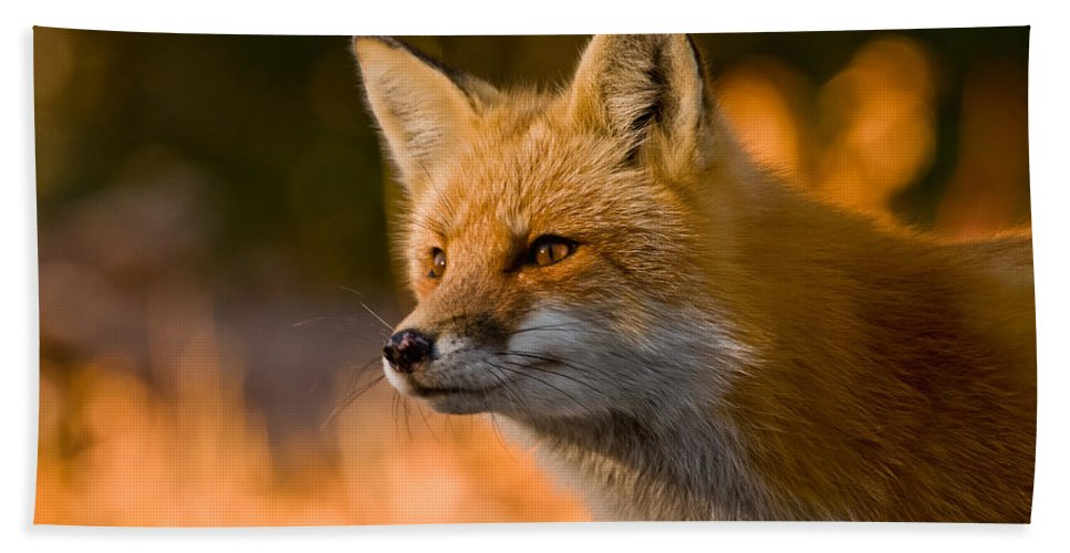 Red Fox Beach Towel featuring the photograph Red Fox Pictures 118 by World Wildlife Photography