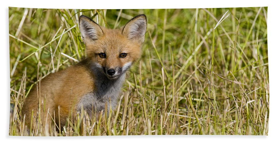 Red Fox Beach Towel featuring the photograph Red Fox Pictures 19 by World Wildlife Photography