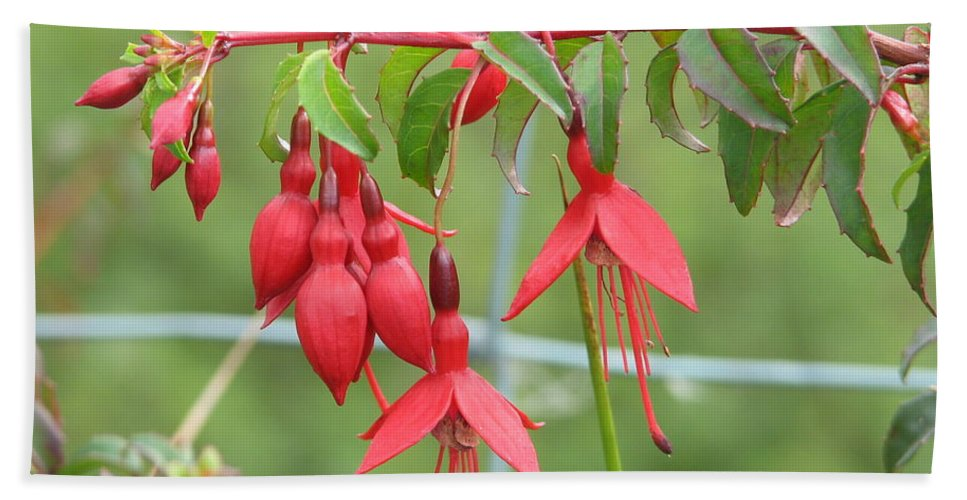 Fresia Beach Towel featuring the photograph Red Fresia by Kelly Mezzapelle