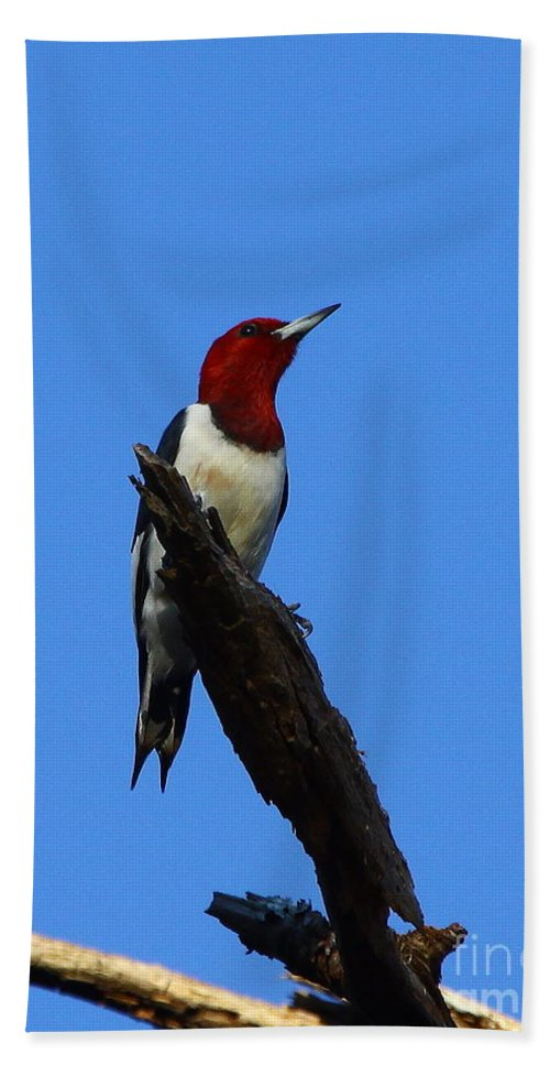 Red Headed Woodpecker Beach Towel featuring the photograph Red Headed Woodpecker On A Snag by Barbara Bowen