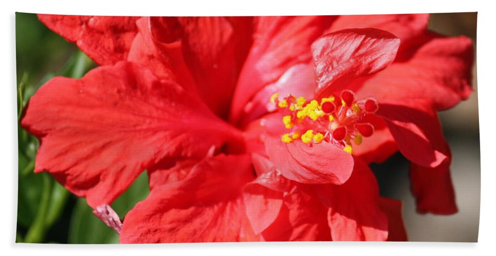 Red Beach Towel featuring the photograph Red Hibiscus Square by Carol Groenen