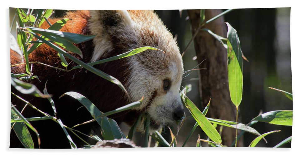 Panda Beach Towel featuring the photograph Red Panda by ChelleAnne Paradis