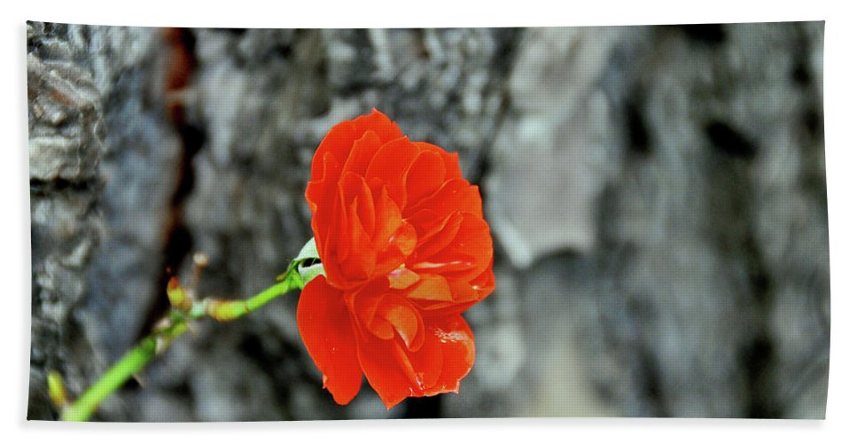 Rose Beach Towel featuring the photograph Red Rose by Ilaria Andreucci