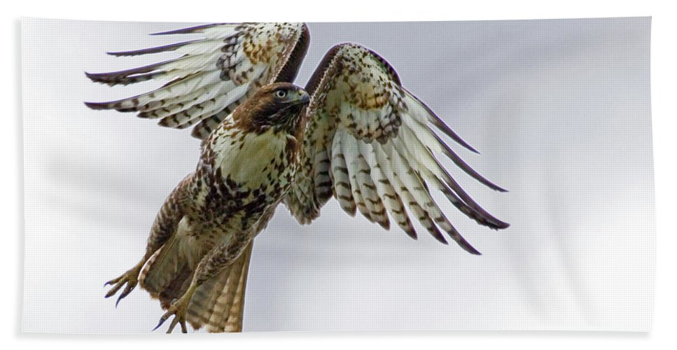 Hawk Beach Towel featuring the photograph Red Tail Takeoff by Randall Ingalls