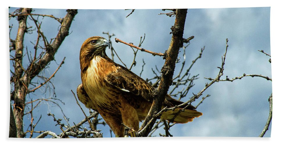 Hawk Beach Towel featuring the photograph Red-Tailed Hawk by Alana Thrower