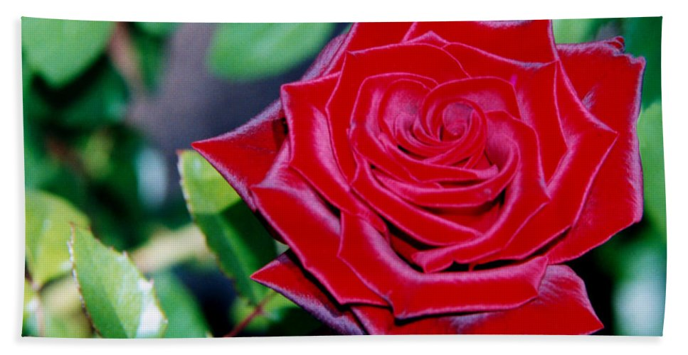 Red Beach Towel featuring the photograph Red Velvet Rose by Heather Kirk
