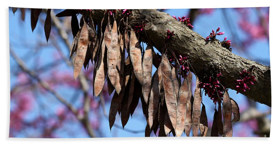Redbud Tree Seed Pods Beach Towel For Sale By Catherine Sherman