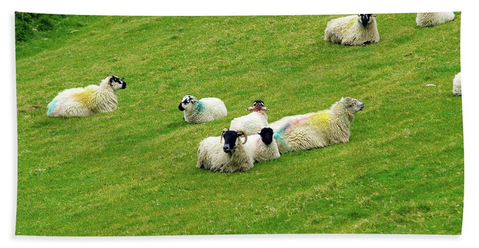 Sheep Photography Beach Towel featuring the photograph Resting by Patricia Griffin Brett