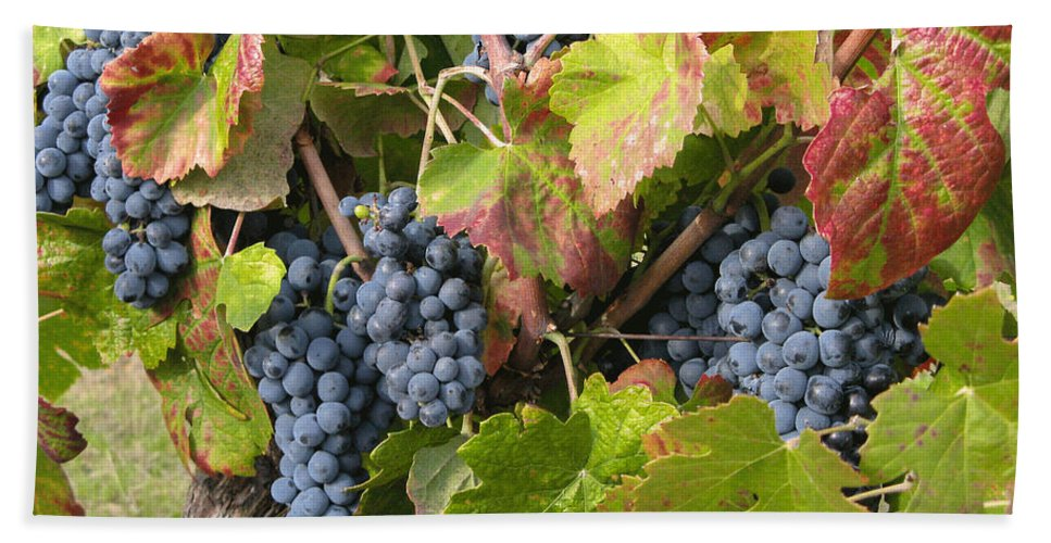 Vineyard Beach Towel featuring the photograph Ripe On The Vine by Arlene Carmel
