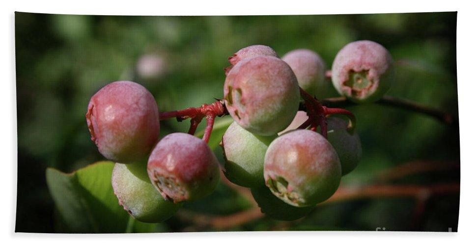Blueberry Beach Towel featuring the photograph Ripening by Kim Henderson