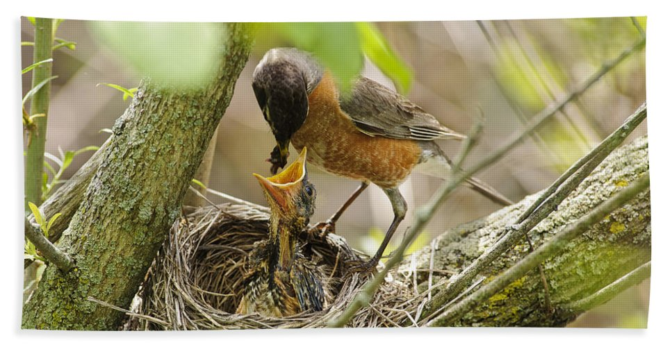 Timothy Flanigan Beach Towel featuring the photograph Robin Feeding Young by Timothy Flanigan