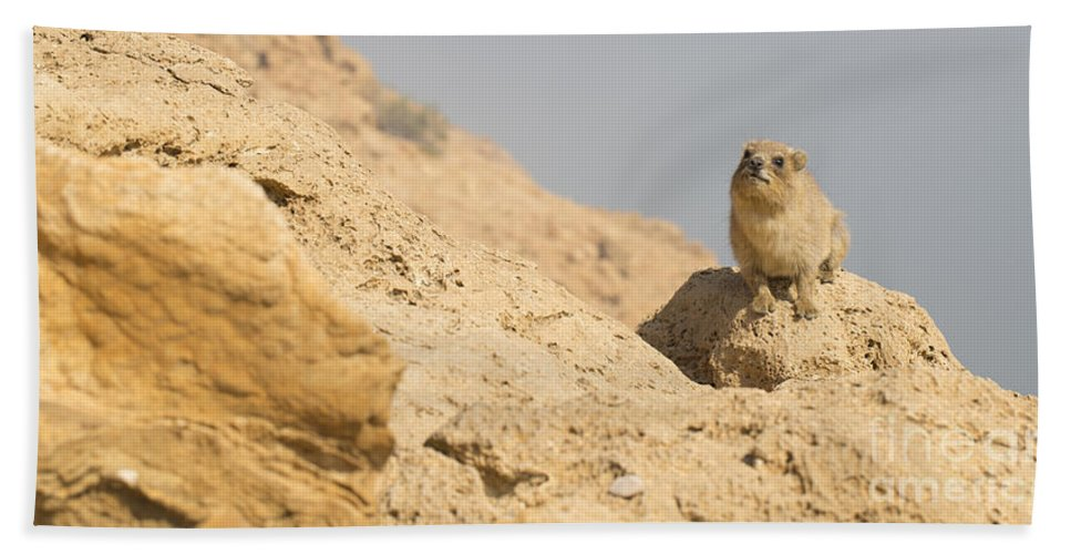 Rock Hyrax Beach Towel featuring the photograph Rock Hyrax Procavia Capensis by Alon Meir