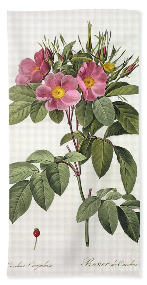 Rosa Beach Towel featuring the drawing Rosa Carolina Corymbosa by Pierre Joseph Redoute