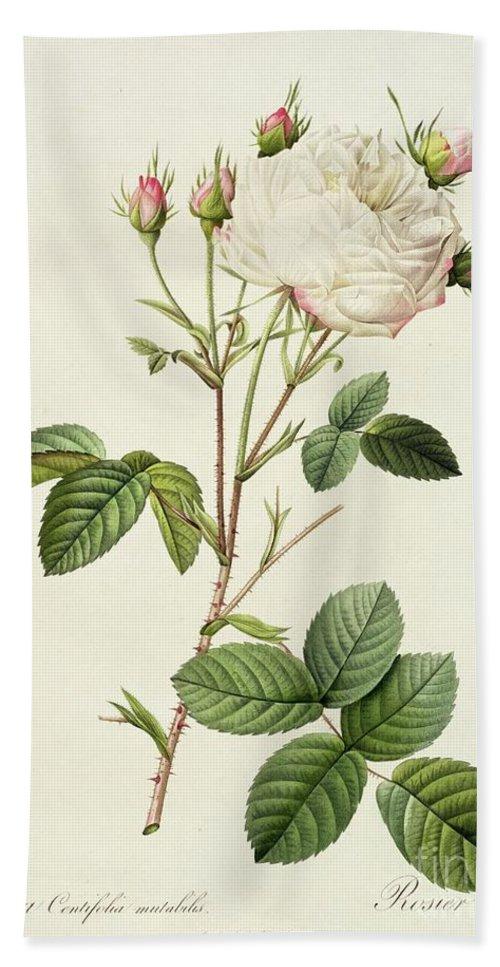 Rosa Beach Towel featuring the drawing Rosa Centifolia Mutabilis by Pierre Joseph Redoute