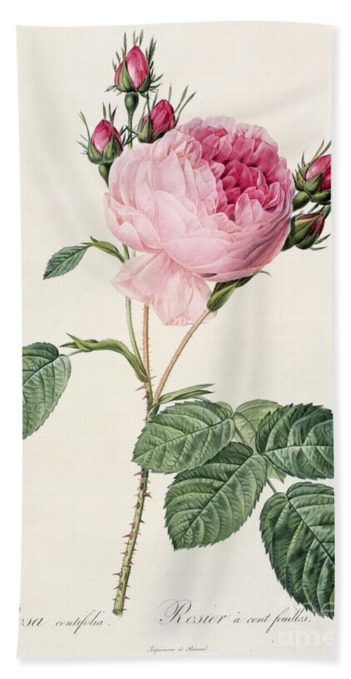 Rosa Beach Towel featuring the drawing Rosa Centifolia by Pierre Joseph Redoute