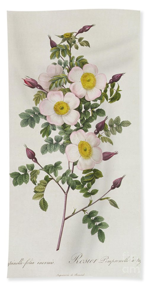 Rosa Beach Towel featuring the drawing Rosa Pimpinelli Folia Inermis by Pierre Joseph Redoute
