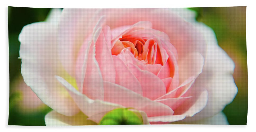 Rose Beach Towel featuring the photograph Rose 1 by Kevin Williams
